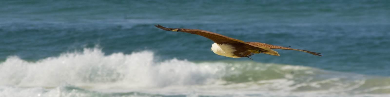 Brahmin Kite flying over sea